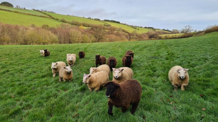 Our Reyland sheep