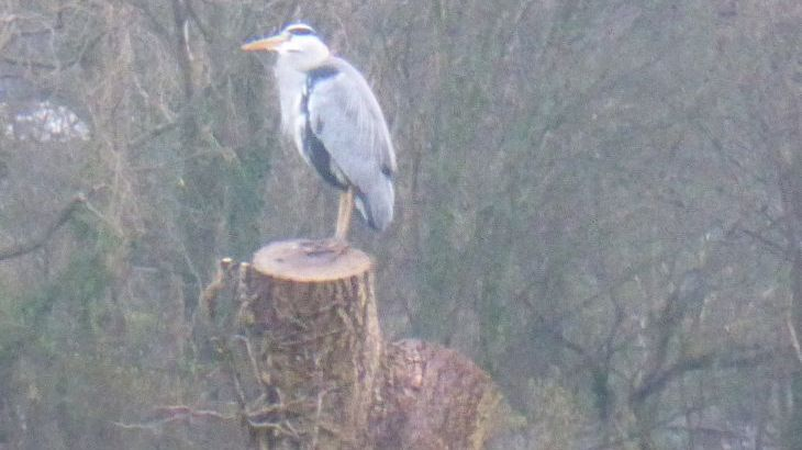 Our local heron !